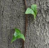 Klimop het groeien in boomboomstam Stock Fotografie
