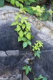 Klimop het groeien op een gevallen boom Stock Foto