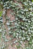Klimop het groeien wildernis rond boomboomstam Stock Foto's