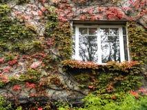Klimop met rode en groene bladeren op een muur met een venster Stock Afbeeldingen