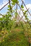 Klimop op bamboe Royalty-vrije Stock Afbeeldingen