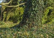 Klimop op boomboomstam Stock Afbeelding