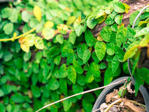 Klimop op Boomstompen in het park Stock Foto