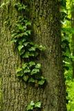 Klimop op de boom stock foto