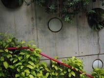 Klimop op de grijze muur Stock Foto's