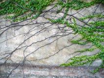 Klimop op de oude muur stock afbeeldingen