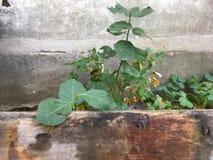 Klimop op de oude muur, groene bladeren, installatie in de tuin stock foto's