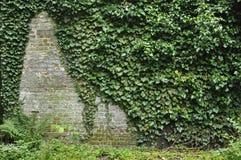 Klimop op een bakstenen muur Stock Afbeeldingen