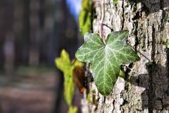 Klimop op een boom Stock Foto's
