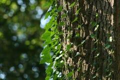Klimop op een boom Royalty-vrije Stock Foto's