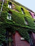 Klimop op een gebouw in Wroclaw, Polen royalty-vrije stock foto's