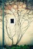 Klimop op een muur Stock Afbeelding