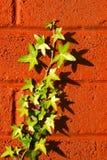 Klimop op een muur Stock Foto