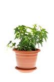 Klimop in pot royalty-vrije stock afbeelding