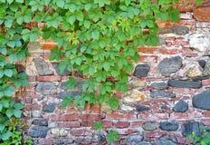 Klimop tegen steenmuur Stock Foto