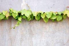 klimop wijnstok Stock Foto