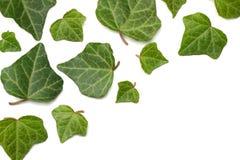 Klimopbladeren die op een witte achtergrond worden geïsoleerd Hoogste mening stock fotografie