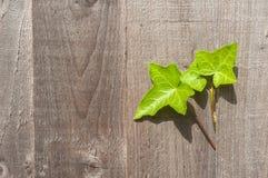 Klimopbladeren die uit een houten tuinomheining voortkomen royalty-vrije stock foto