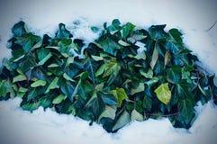 Klimopbladeren onder de sneeuw stock afbeelding