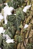 Klimopinstallatie, boom en sneeuw in de winter, achtergrond royalty-vrije stock fotografie