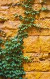 Klimopinstallatie op een heldere oranje muur Stock Afbeelding