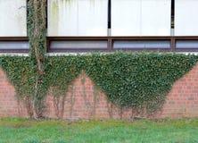 Klimopspruiten, Hedera, op bakstenen muur stock foto's