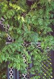 Klimoptakjes groeien die met retro rustieke hagen bengelen Stock Fotografie