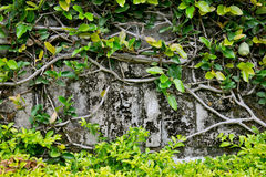 Klimplant die oude muur ``behandelt Royalty-vrije Stock Afbeeldingen
