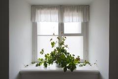 Klimplant in een pot Royalty-vrije Stock Afbeeldingen