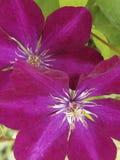 Klimplant met mooie purpere bloem stock foto