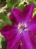 Klimplant met mooie purpere bloem stock fotografie