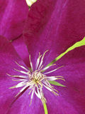 Klimplant met mooie purpere bloem royalty-vrije stock afbeelding