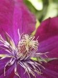 Klimplant met mooie purpere bloem royalty-vrije stock afbeeldingen