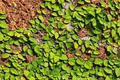 Klimplant op de muur Royalty-vrije Stock Afbeeldingen