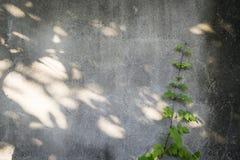 Klimplant op de muur Royalty-vrije Stock Fotografie