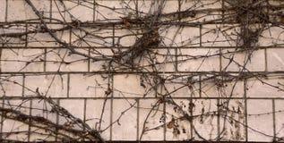 Klimplant op doorstane bakstenen muur/abstracte grungy achtergrond Royalty-vrije Stock Afbeelding