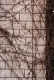 Klimplant op doorstane bakstenen muur/abstracte grungy achtergrond Royalty-vrije Stock Foto's
