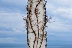 Klimplant op een oude kolom in Capri, Italië Stock Fotografie