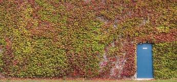 Klimplant op Muur Stock Foto's