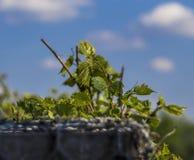 Klimplanten die op een concrete muur tegen de hemel groeien royalty-vrije stock foto