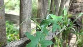 Klimplanten op de omheining stock video