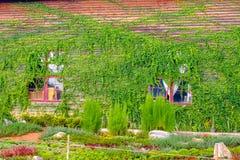 Klimplanten op een houten schuur Stock Fotografie