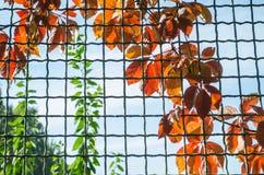 Klimplanten van de herfst de rode bladeren op het rooster stock afbeeldingen