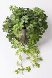 Klimplantinstallatie in bloempot Royalty-vrije Stock Afbeeldingen