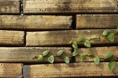 Klimplantinstallatie op oude bakstenen muur. Royalty-vrije Stock Afbeeldingen