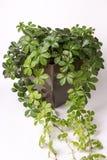 Klimplantinstallatie in pot die van beeld wegvloeien Royalty-vrije Stock Afbeelding