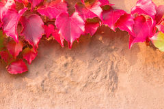 Klimplanttak met donkerrode bladeren op de zandsteenmuur Royalty-vrije Stock Afbeeldingen