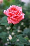 Klingeln Rose lizenzfreie stockfotos