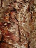 Klinki pine bark. Curly bark of the klinki pine (araucaria hunsteinii Royalty Free Stock Photos