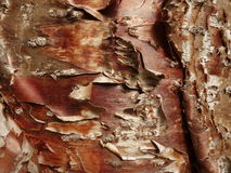 Klinki pine bark. Curly bark of the klinki pine (araucaria hunsteinii Stock Image